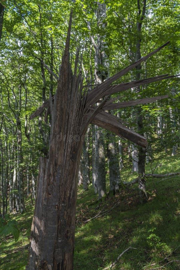 在一道强有力的闪电以后的下落的树在对Eho小屋的途中 山在中央巴尔干吃惊与它的秀丽,新鲜 图库摄影