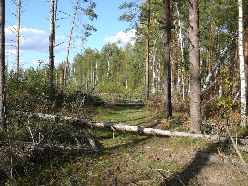 在一阵强风以后的森林公路 免版税图库摄影