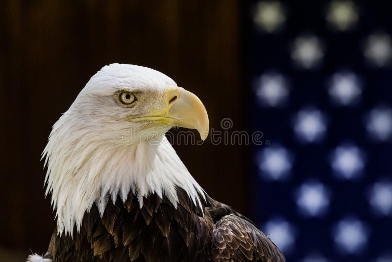 在一面美国国旗前被栖息的美丽的白头鹰 库存图片