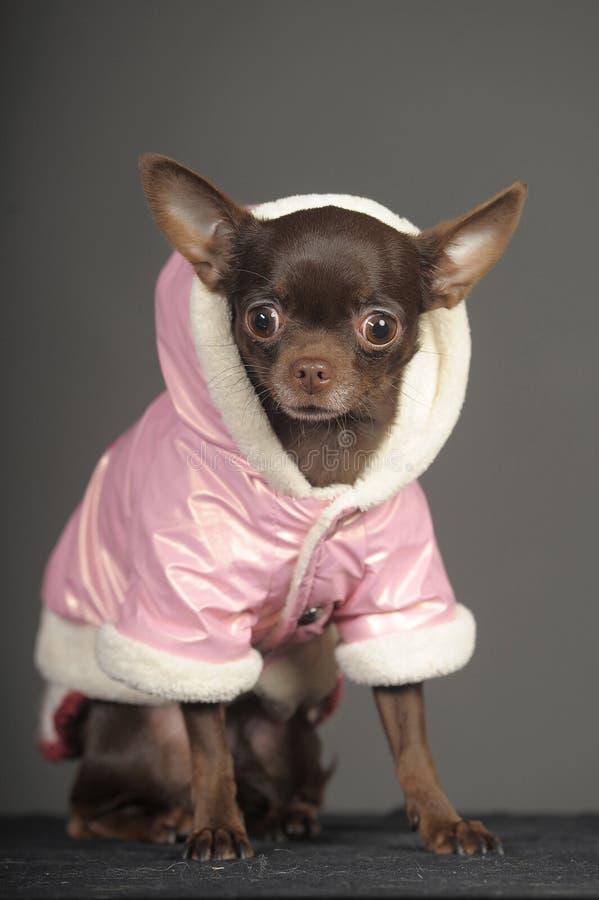 在一件桃红色夹克的奇瓦瓦狗 库存照片