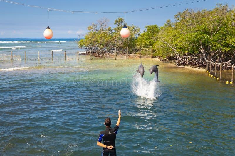 在一dolphinarium的海豚在海的一棵美洲红树 库存照片