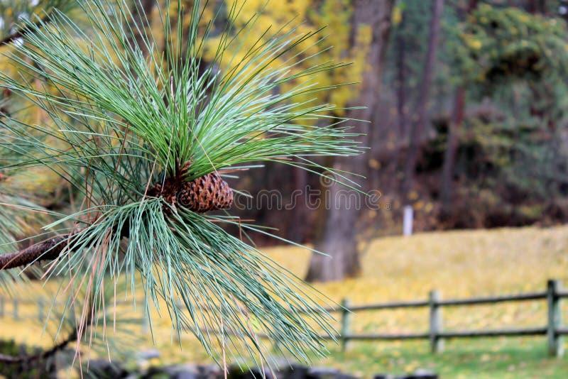 在一ponderosa松树的杉木锥体在秋天 免版税库存图片