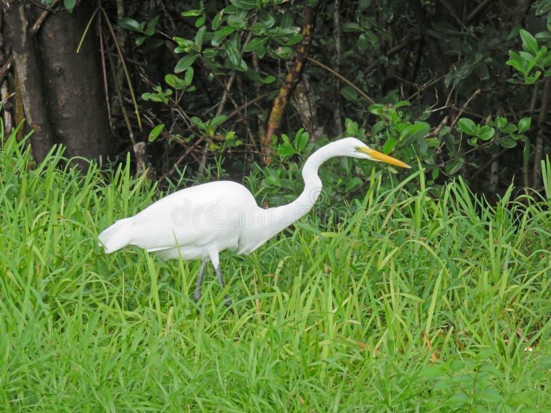 在丁亲爱的野生生物保护区的伟大的白鹭 免版税库存图片