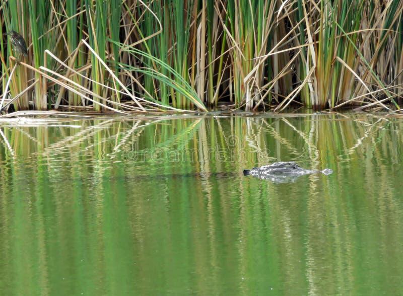 在丁亲爱的野生生物保护区的鳄鱼 库存图片