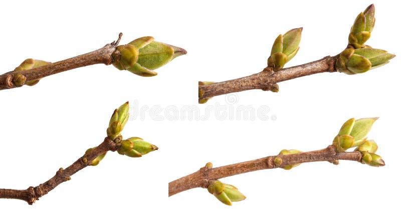 在丁香分支的圆鼓的绿色芽  r ?? 免版税库存照片