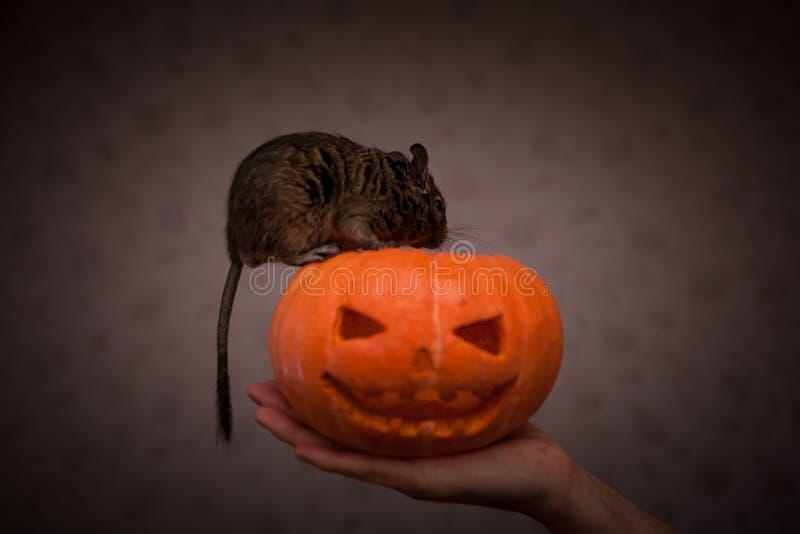 在万圣夜南瓜的啮齿目动物 免版税库存图片