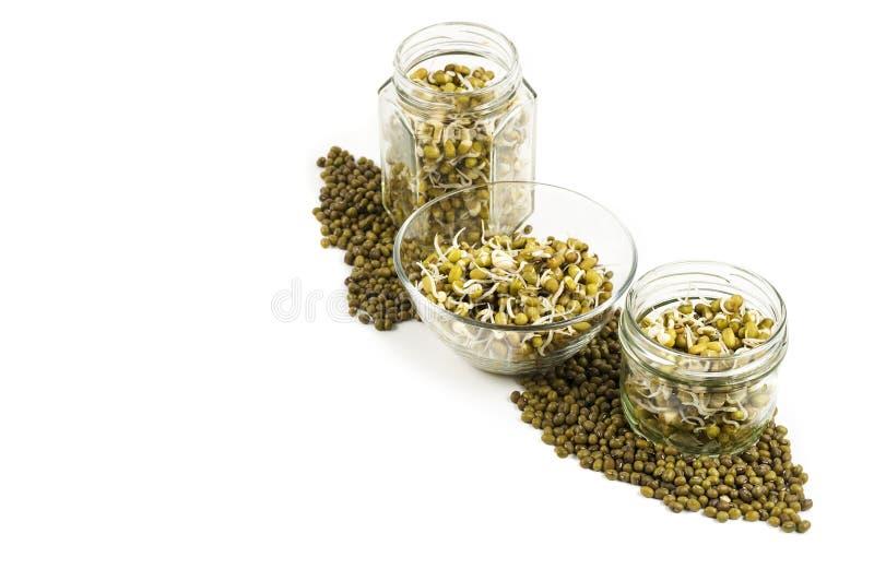 在三个瓶子的发芽的绿豆 免版税图库摄影
