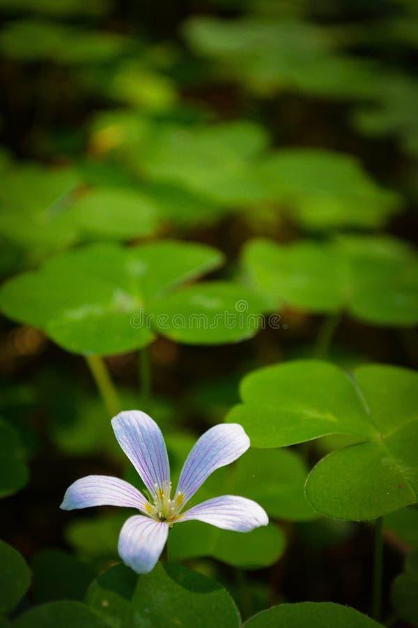 在三叶草中的白花 免版税图库摄影