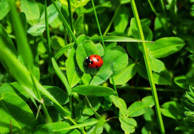 在三叶草的小红色瓢虫 图库摄影
