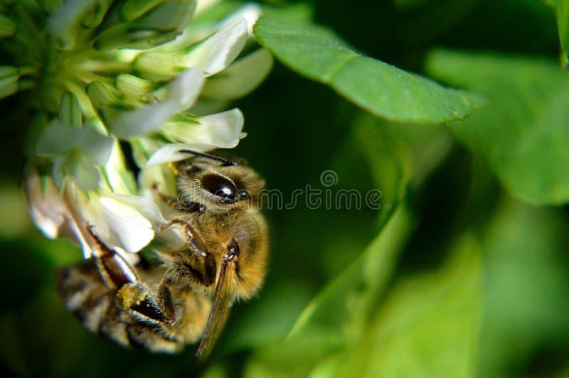 在三叶草的蜂 库存图片