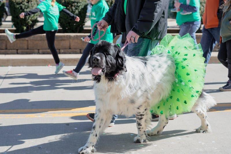 在三叶草芭蕾舞短裙的狗在圣帕特里克的天游行 免版税库存照片