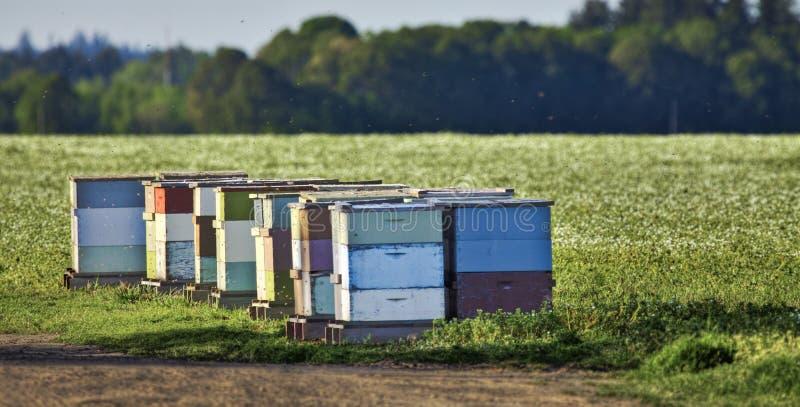 在三叶草领域旁边的蜂箱 免版税库存图片