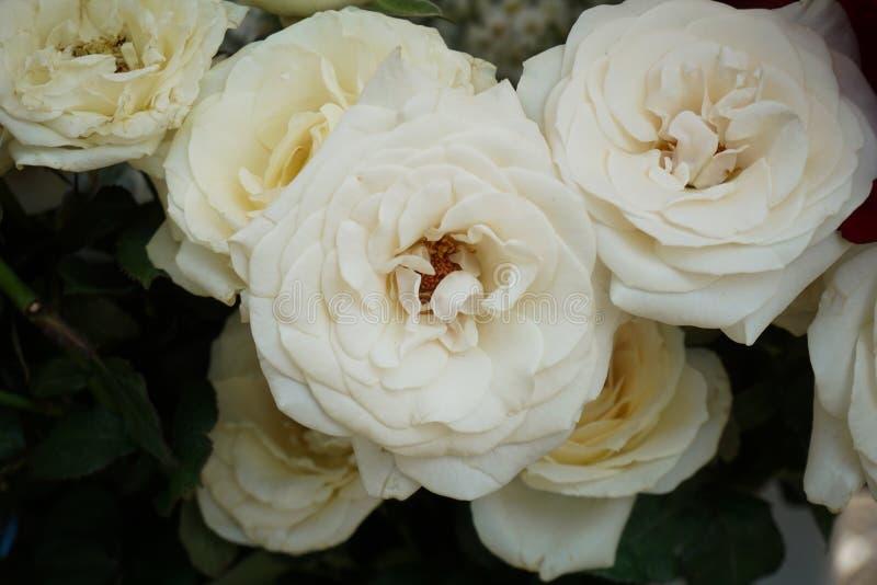 在三宝垄拍的一束美丽的白色玫瑰照片印度尼西亚 库存图片