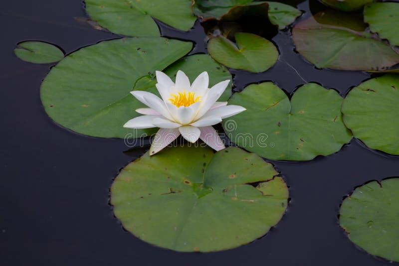 在三片百合叶子中间的开放百合在Surea附近的一个自然池塘 图库摄影