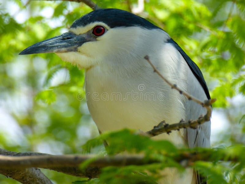 在上海野生动物公园的夜鹭属 库存照片