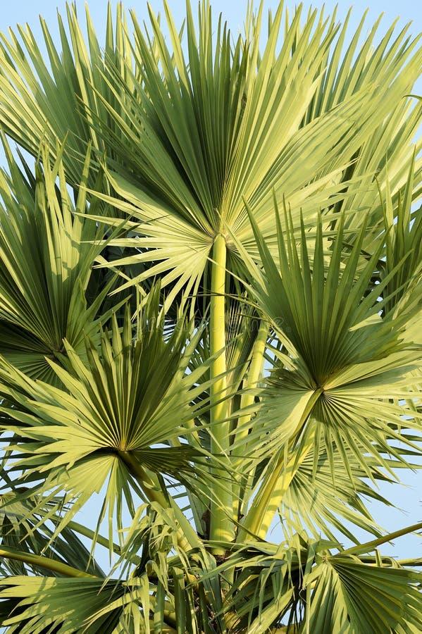在上面的扇叶树头榈棕榈叶 免版税库存照片