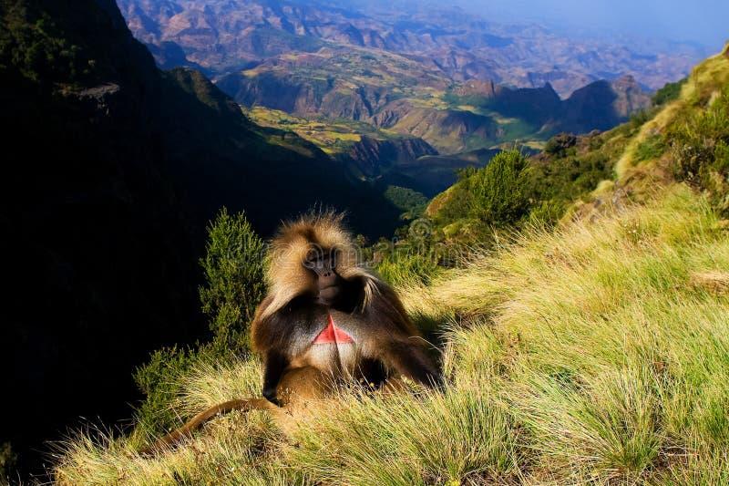 在上面的Gelada狒狒 库存图片