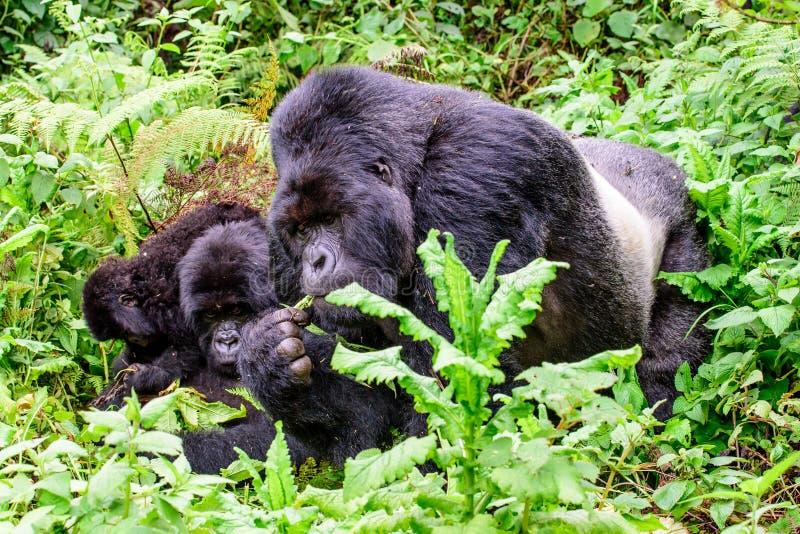 在下木的山地大猩猩家庭 免版税库存图片