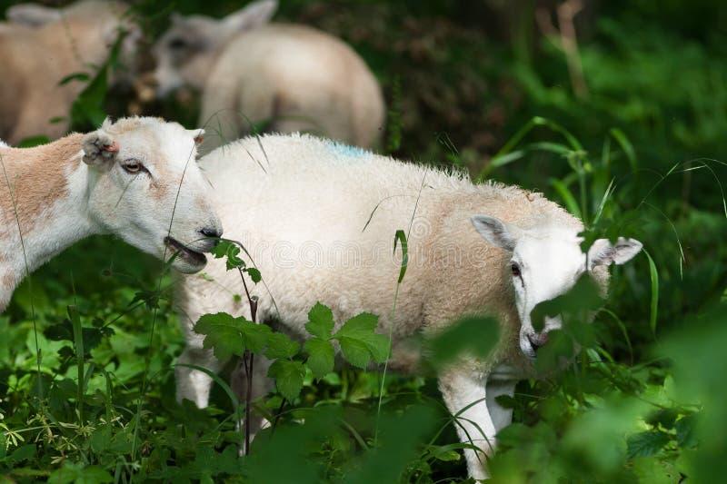 在下木的绵羊 免版税库存图片