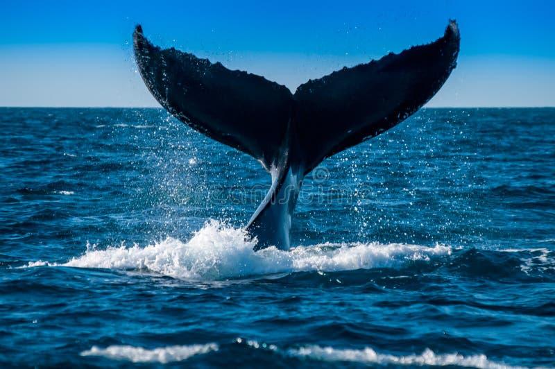 在下潜昆士兰澳大利亚的驼背鲸 图库摄影