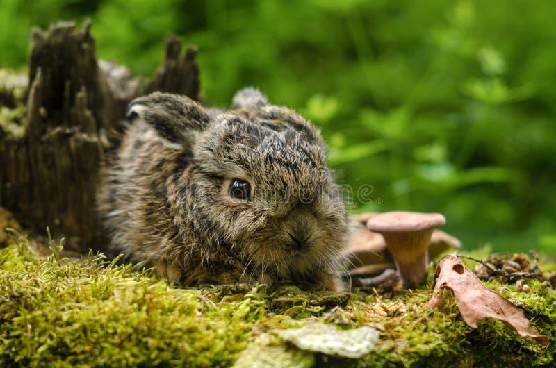 在下落的叶子和蘑菇中的美丽的新出生的小兔子 免版税库存照片