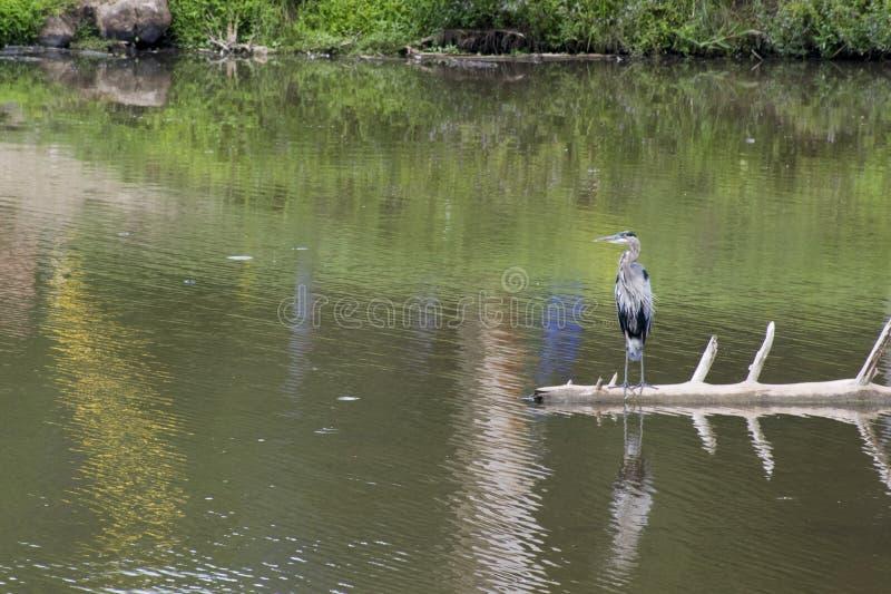 在下落的树的伟大蓝色的苍鹭的巢 免版税库存照片