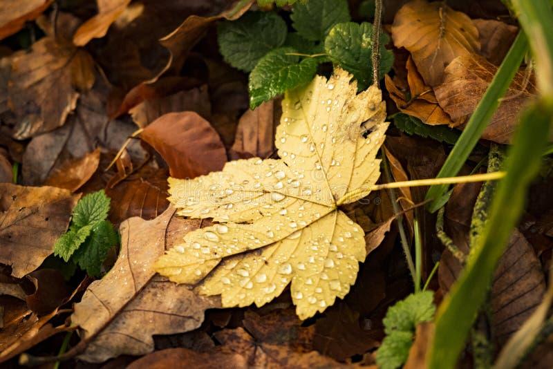 在下落的黄色叶子的Waterdrops在退色的秋叶中的雨以后 库存图片