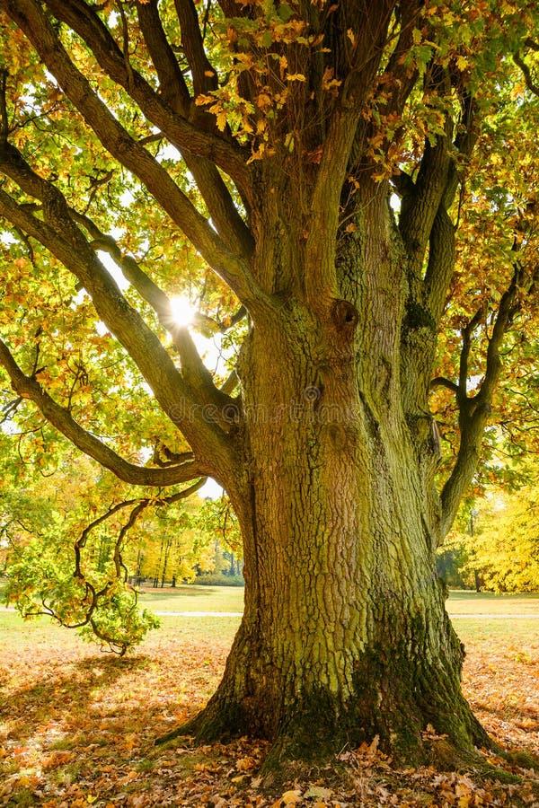 在下降时间庭院的老橡树 库存图片