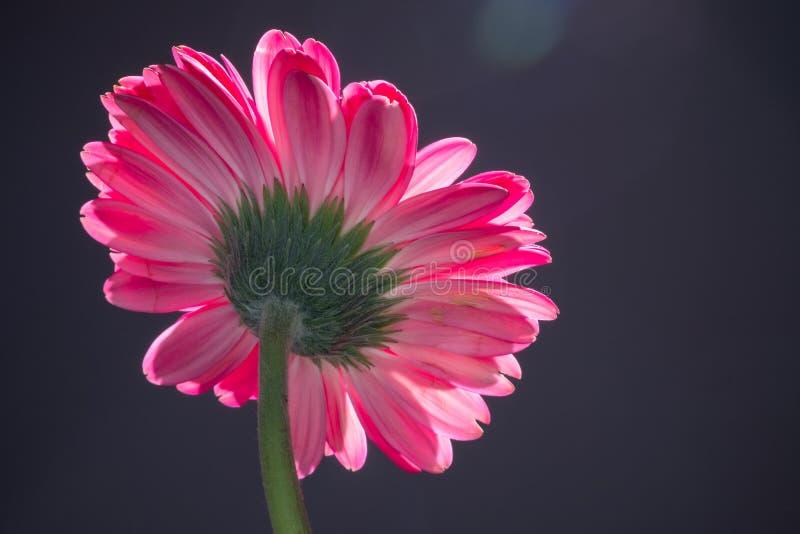 在不同的光的雏菊 免版税库存图片