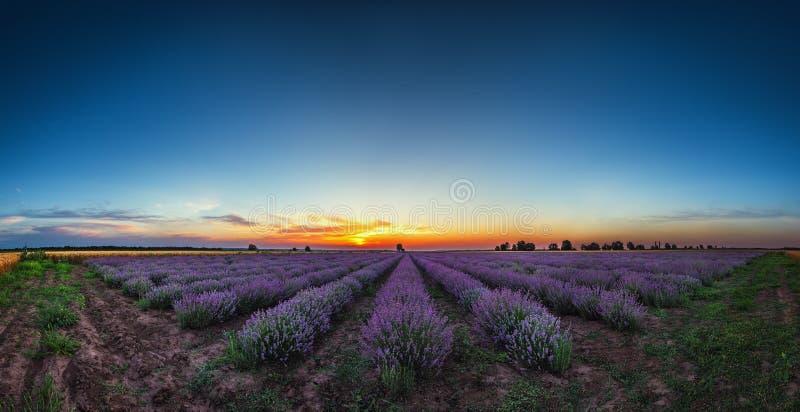 在不尽的行的淡紫色花开花的领域 日落射击 库存图片
