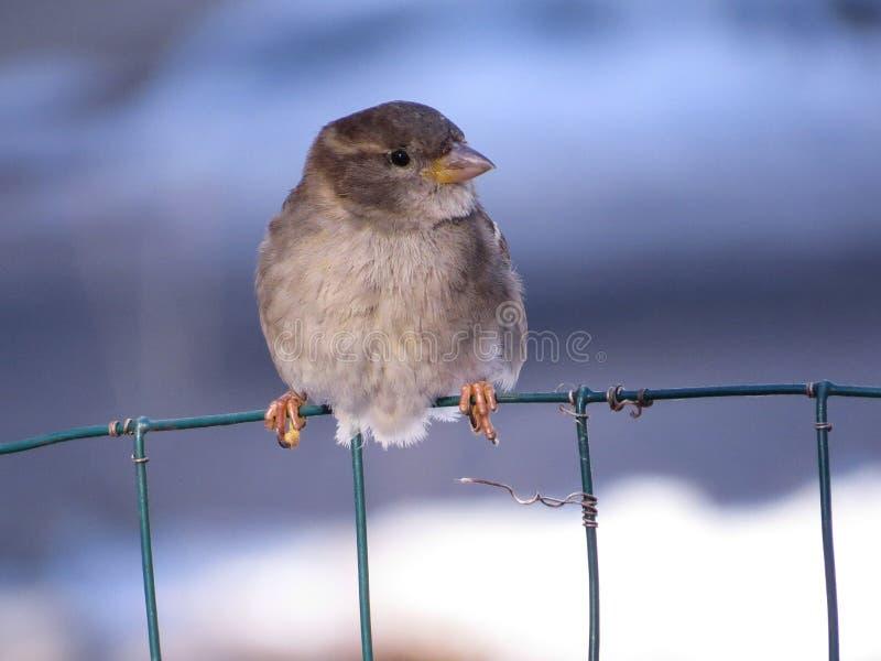 在与冬天雪的篱芭导线栖息的逗人喜爱的母麻雀在背景中 库存照片