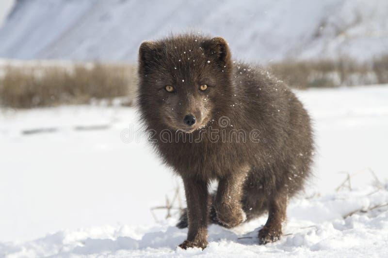 在与培养的雪站立的司令员的蓝色白狐 库存照片