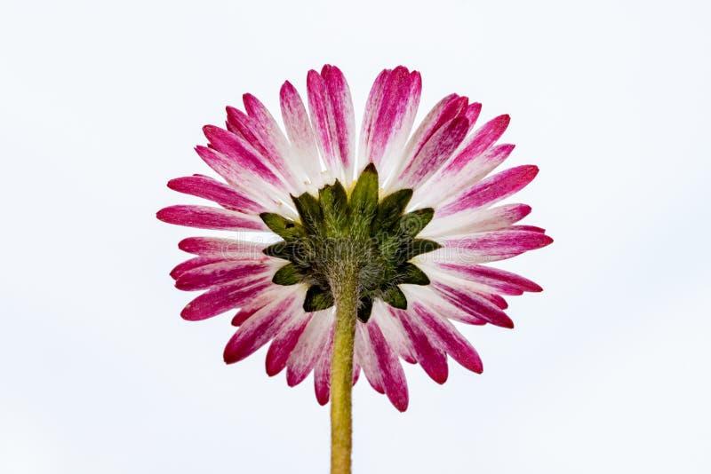 在与桃红色和白色瓣的一朵野花雏菊下 库存图片