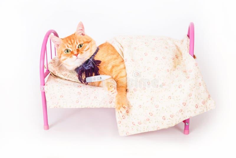 在与温度计的床上的红色猫 兽医和动物健康的概念 图库摄影