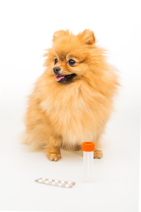 在与空的容器和药片的白色隔绝的Pomeranian狗 库存照片