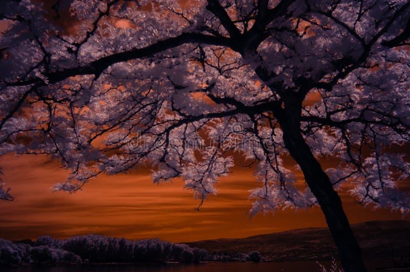 在与粉红叶子的红外线射击的镶有钻石的旭日形首饰的蜂蜜loctus树有在背景山的金黄天空的 库存照片