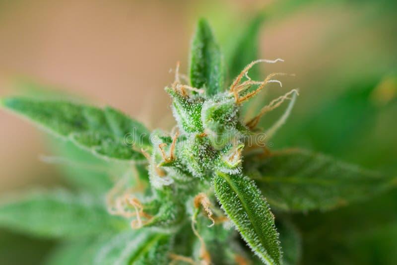 在与糖trichomes的收获宏观射击前发芽增长的美丽的大麻在室内 概念 免版税库存照片