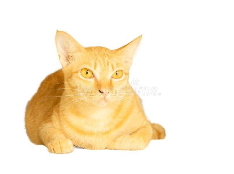 在与裁减路线和拷贝空间的白色背景隔绝的黄色猫谎言,flufy头发动物画象  库存照片