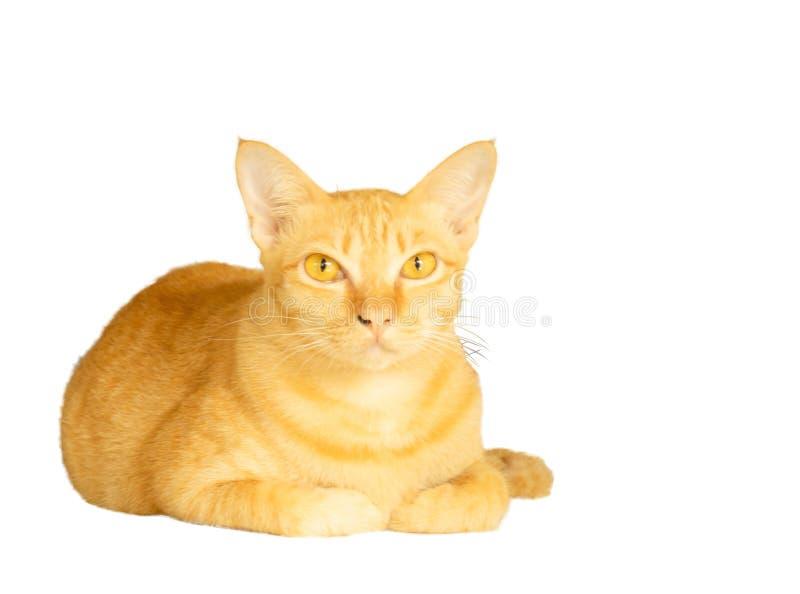 在与裁减路线和拷贝空间的白色背景隔绝的黄色猫谎言,flufy头发动物画象  免版税图库摄影
