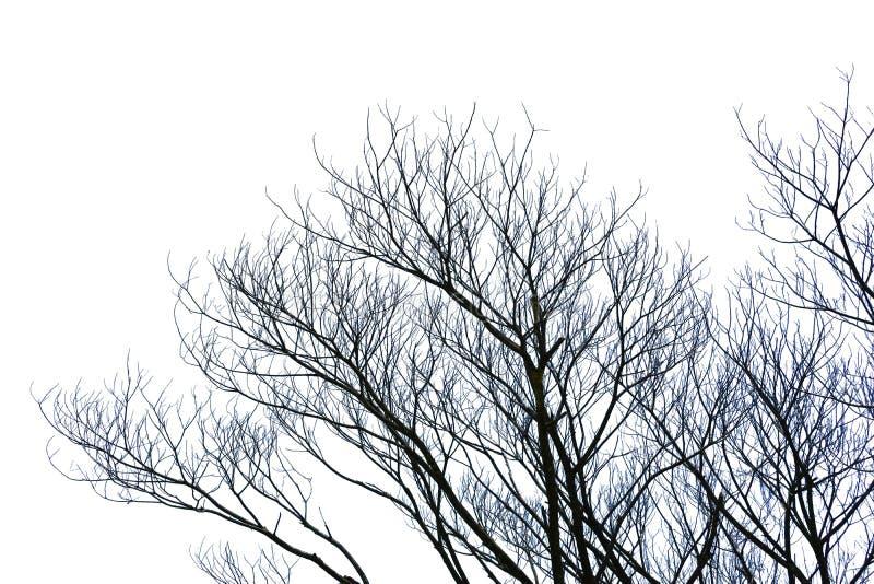 在与裁减路线的白色背景或死的树隔绝的不生叶的分支 图表资源 库存照片