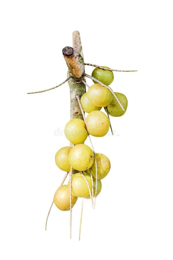 在与裁减路线的白色背景或phyllanthus emblica有机果子的隔绝的束本质印度鹅莓 库存照片