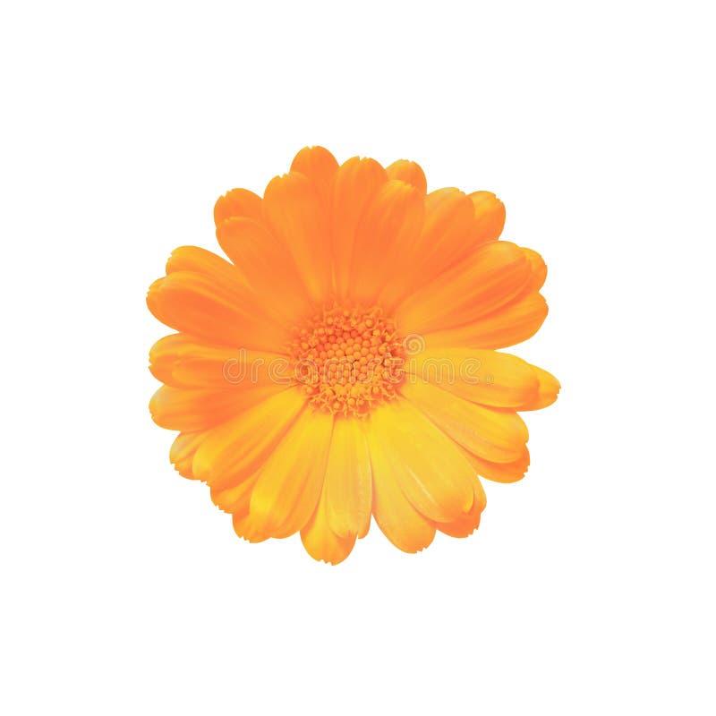 在与裁减路线的白色背景有橙色瓣顶视图隔绝的一朵花的芽 免版税库存图片