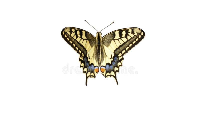 在与裁减路线的白色背景隔绝的五颜六色的swallowtail蝴蝶 免版税库存照片