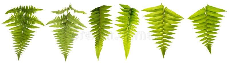 在与裁减路线的白色背景隔绝的叶子 叶子为刷子使用和更加装饰 免版税库存图片