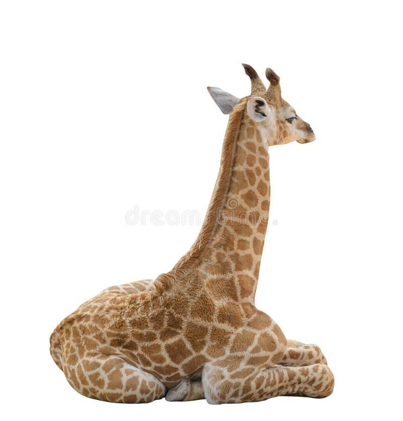 在与裁减路线的白色背景隔绝的小长颈鹿 图库摄影
