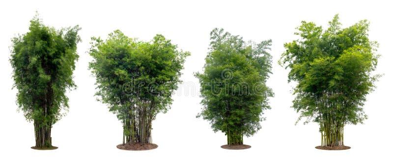 在与裁减路线的白色背景隔绝的汇集竹树 免版税库存图片