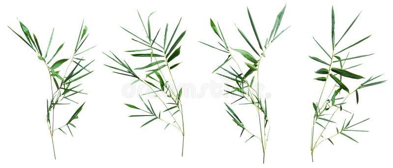 在与裁减路线的白色背景隔绝的竹子 免版税库存照片