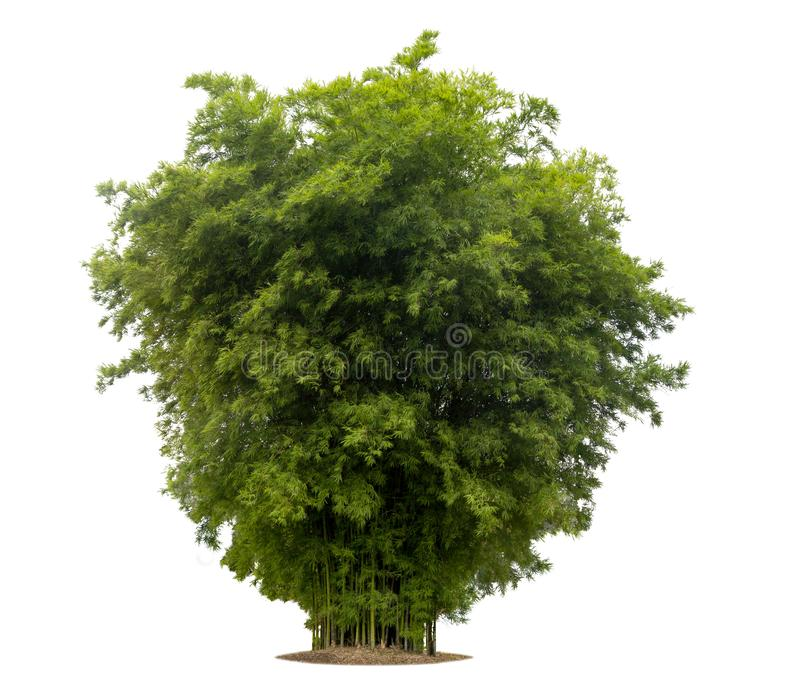 在与裁减路线的白色背景隔绝的竹树 免版税库存照片