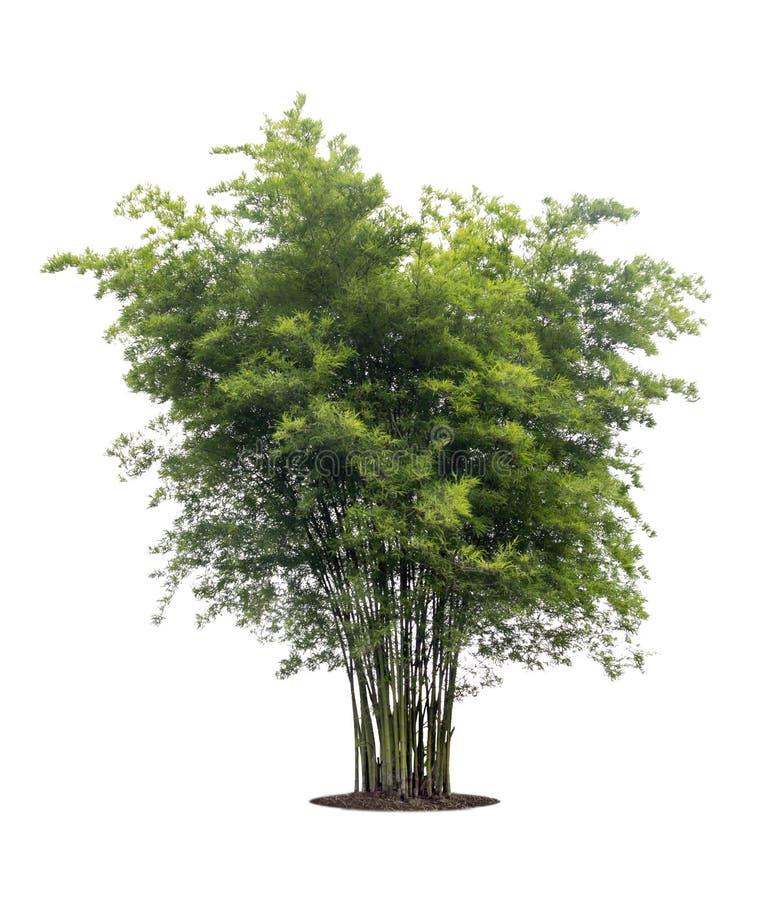 在与裁减路线的白色背景隔绝的竹树 免版税图库摄影