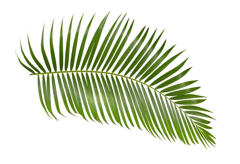 在与裁减路线的白色背景隔绝的绿色棕榈叶 免版税库存图片